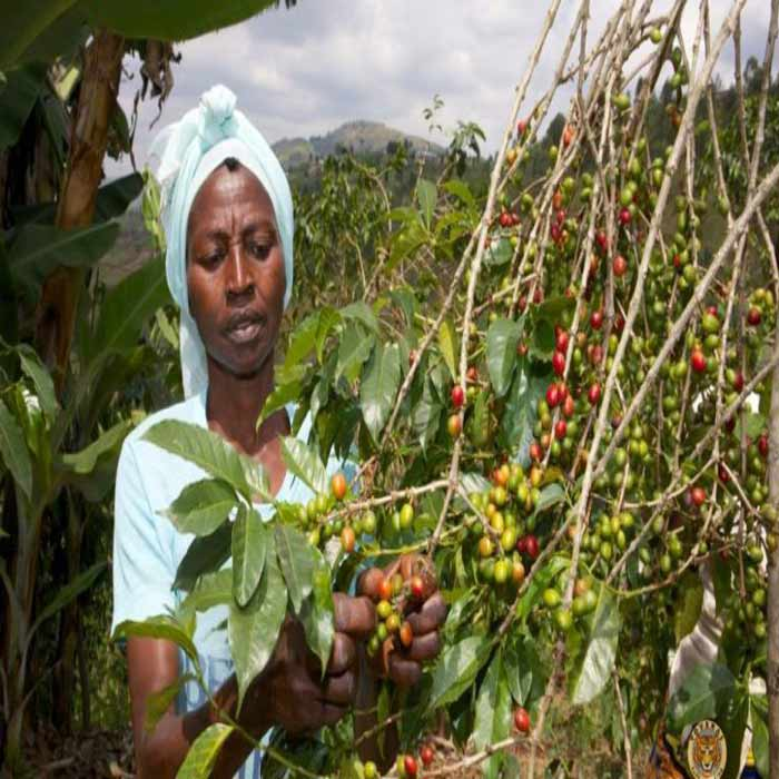 دانه قهوه تک خاستگاه اندونزی SUMATRA اسکای لب
